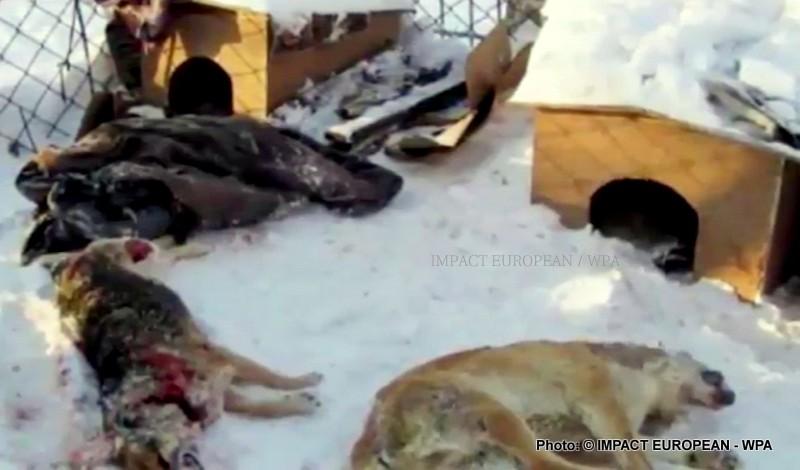 Des milliers des chiens abattus en Russie en vue de la Coupe du monde 2018