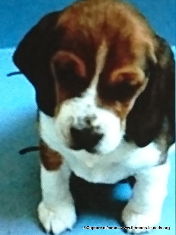 ANIMAUX COBAYES: l'élevage et la vente de chiens destinés aux laboratoires
