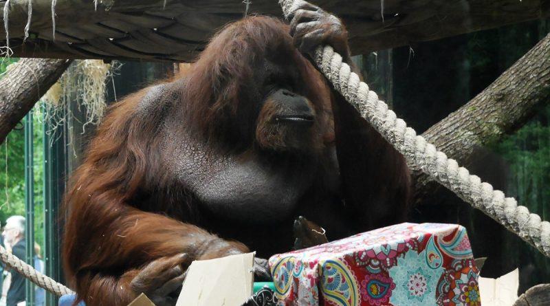 Nénette, l'orang-outan, a fêté ses 50 bougies